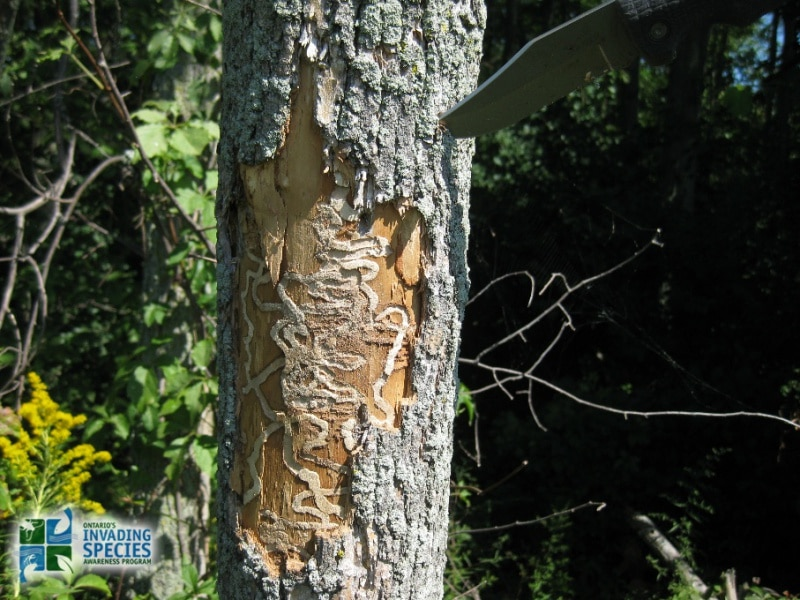 Emerald Ash Borer : Cottager's Responsibility
