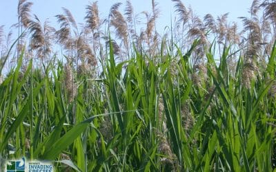 """What are Phragmites?"" — Info Session July 8, 2017"
