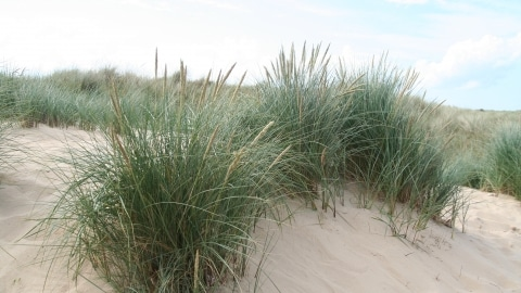Beach Grass Survey
